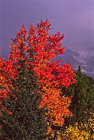 Aspen trees in Horeshoe Park  during a autumn storm.  Rocky Mountain National park, Colorado.