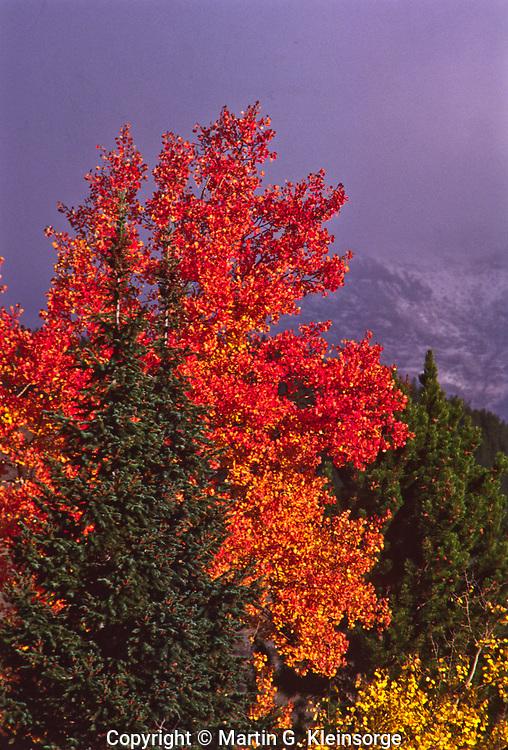 Aspen trees in Horeshoe Park  during a autumn storm.  Rocky Mountain National park, Colorado.