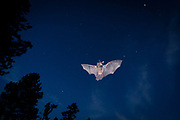 Bat (myotis sp) flying against the night sky. Central oregon. Single exposure image. © Michael Durham.