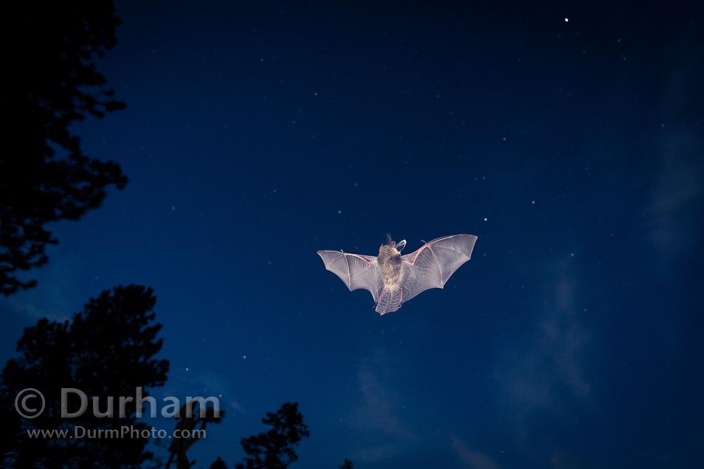 Bat (myotis sp) flying against the night sky. Central oregon. Single exposure image. © Michael Durham.
