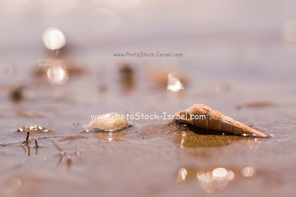 elongate conic or corkscrew shape seashell on the beach Photographed on the Mediterranean sea, Israel