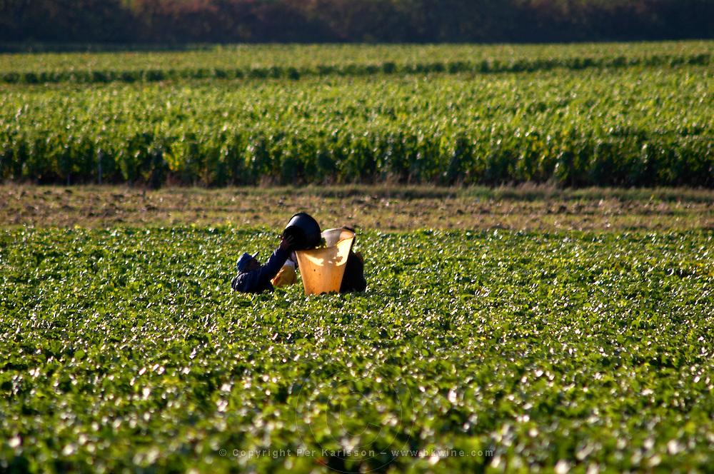 harvesting chardonnay vineyard meursault cote de beaune burgundy france