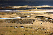 Bison roams near the Yellowstone River, Yellowstone National Park.