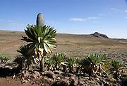Africa, Ethiopia,Oromia Region, Bale Mountains, Flowering giant lobelia (Lobelia deckenii)