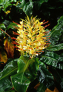 Kahili Ginger, HVNP, Island of Hawaii