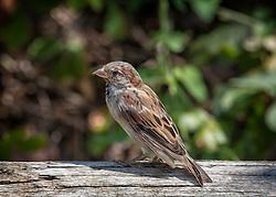 A Juvenile Male House Sparrow walks across a log