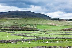 Blackface sheep and stone walls, County Mayo, Ireland