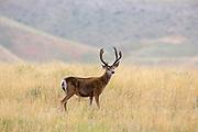 Mule deer buck in summer habitat