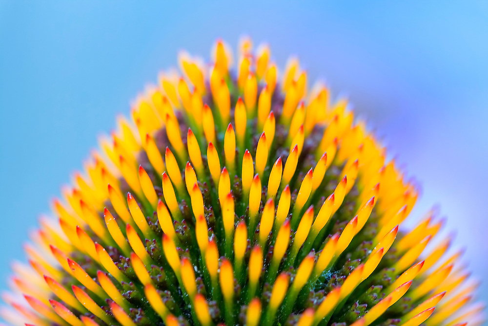 From The Very Tip Top Of The Cone Flower