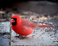 Male Northern Cardinal. Image taken with a Nikon D5 Camera and 600 mm f/4 VR lens (ISO 3200, 600 mm, f/4, 1/640 sec).