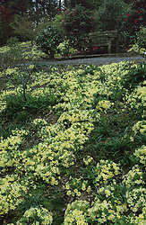 A carpet of Primula vulgaris - primroses - on a bank in the woodland area at The Dingle, Powis