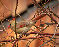 Northern Cardinal in some vines. Image taken with a Nikon D2xs camera and 80-400 mm VR lens (ISO 200, 400 mm, f/5.6, 1/500 sec).