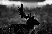 A Stag is seen wondering around Bushy Park in South-west London on Friday, Oct 16, 2020. Autumn is the breeding season for deers in London. (VXP Photo/ Vudi Xhymshiti)