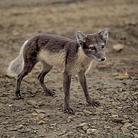 CANADA, NUNAVUT TERRITORY. Arctic fox in summer coat, near Eureka, on Ellesmere Island.