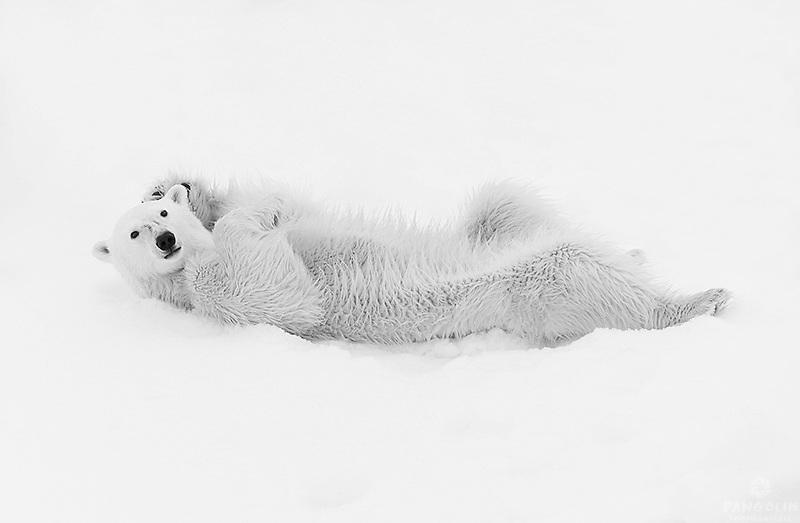 A Polar Bear relaxes and grooms itself on pack ice near Torellneset, Svalbard, Norway