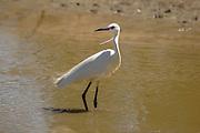 Egretta garzetta - Little Egret, Photographed in Israel
