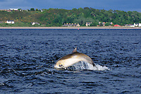 Juvenile Bottle-nosed Dolphin breaching,<br /> Tursiops truncatus,<br /> Moray Firth, Nr Inverness, Scotland - June