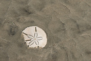 Sand dollar (Echinarachnius parma)<br /> Little St Simon's Island, Barrier Islands, Georgia<br /> USA