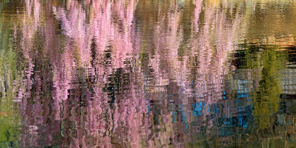 Reflection Cherry Blossoms, Brooklyn Botanic Garden, Brooklyn, New York, Japanese Hill and Pond Garden