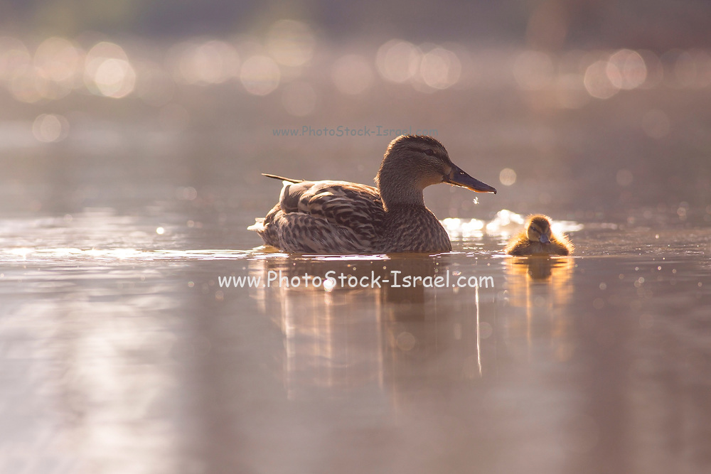 Female Mallard (Anas platyrhynchos) (Left) and juvenile swimming in the water. Photographed in Israel, in April