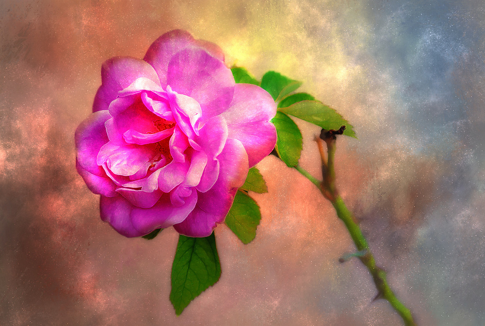 A wild rose with an artistic flare