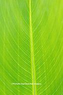 63899-05513 Canna leaf Marion Co. IL
