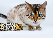 Spottictz Barnaby (Barney)   Breed: Blue eyed snowspotted bengal