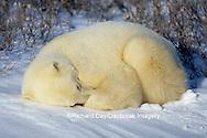 01874-02515 Polar Bear (Ursus maritimus) sleeping on snow  Churchill  MB