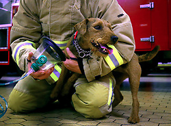 Firefighter Glenn Emery of the Kent Fire and Rescue Service demonstrates a pet-friendly oxygen mask with terrier Hardy, as the service has installed them on every fire engine and at every fire station in the county to help animals survive blazes.