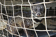 Malay civet in captivity. Limbang, Sarawak, Malaysia 2015<br /><br />Borneo native peoples and their rainforest habitat revisited two decades later: 1989/1991 and 2012/2014/2015. <br /> <br /> Sarawak's primary rainforests have been systematically logged over decades, threatening the sustainable lifestyle of its indigenous peoples who relied on nomadic hunter-gathering and rotational slash & burn cultivation of small areas of forest to survive. Now only a few areas of pristine rainforest remain; for the Dayaks and Penan this spells disaster, a rapidly disappearing way of life, forced re-settlement, many becoming wage-slaves. Large and medium size tree trunks have been sawn down and dragged out by bulldozers, leaving destruction in their midst, and for the most part a primary rainforest ecosystem beyond repair. Nowadays palm oil plantations and hydro-electric dam projects cover hundreds of thousands of hectares of what was the world's oldest rainforest ecosystem which had some of the highest rates of flora and fauna endemism, species found there and nowhere else on Earth, and this deforestation has done irreparable ecological damage to that region