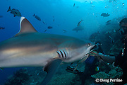 Mini, a divemaster at Beqa Adventure Divers, hand-feeds Madonna, a silvertip shark, Carcharhinus albimarginatus, <br /> at Shark Reef Marine Reserve, Beqa Passage, Viti Levu, Fiji ( South Pacific Ocean )