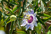 Passiflora, known also as the passion flowers or passion vines, is a genus of about 550 species of flowering plants, the type genus of the family Passifloraceae. They are mostly tendril-bearing vines, with some being shrubs or trees. They can be woody or herbaceous. Passion flowers produce regular and usually showy flowers with a distinctive corona. The flower is pentamerous and ripens into an indehiscent fruit with numerous seeds.