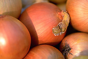 Close up selective focus photograph of a group of Spanish Onions