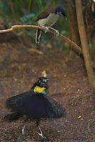 "Western Parotia Bird of Paradise.(Parotia sefilata) male performing ""ballerina dance"" display for a female."