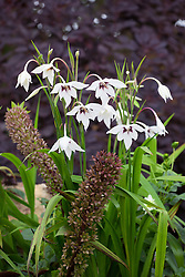 Gladiolus callianthus syn. Acidanthera bicolor var murielae AGM. Abyssinian gladiolus with Eucomis comosa 'Sparkling Burgundy' (Pineapple lily)