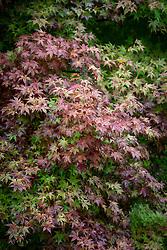 A08 Acer palmatum 'Deshojo' - Corallinum Group - Japanese maple