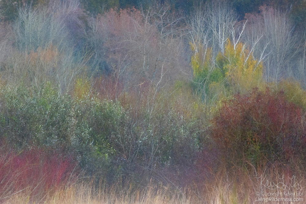 Fall colors are visible through light fog on the trees and shurbs that line the edge of a large meadow in Marymoor Park, Redmond, Washington.