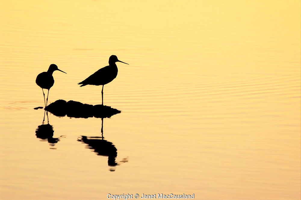 A pair of silhouetted Greater Yellowlegs (Tringa melanoleuca) sandpipers wade in golden water reflecting the sunlit sky at sunset.
