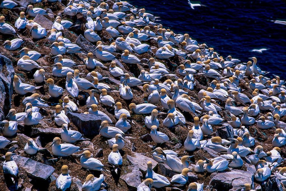 Northern gannets, Bird rock, Cape St. Mary's Ecological Reserve (Sula bassanus), Avalon Peninsula, Newfoundland, Canada