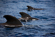 Three Short-finned pilot whales, Globicephala macrorhynchus, off the coast of La Gomera, in the Canary Islands, from whalewatching boat 'Tina'.