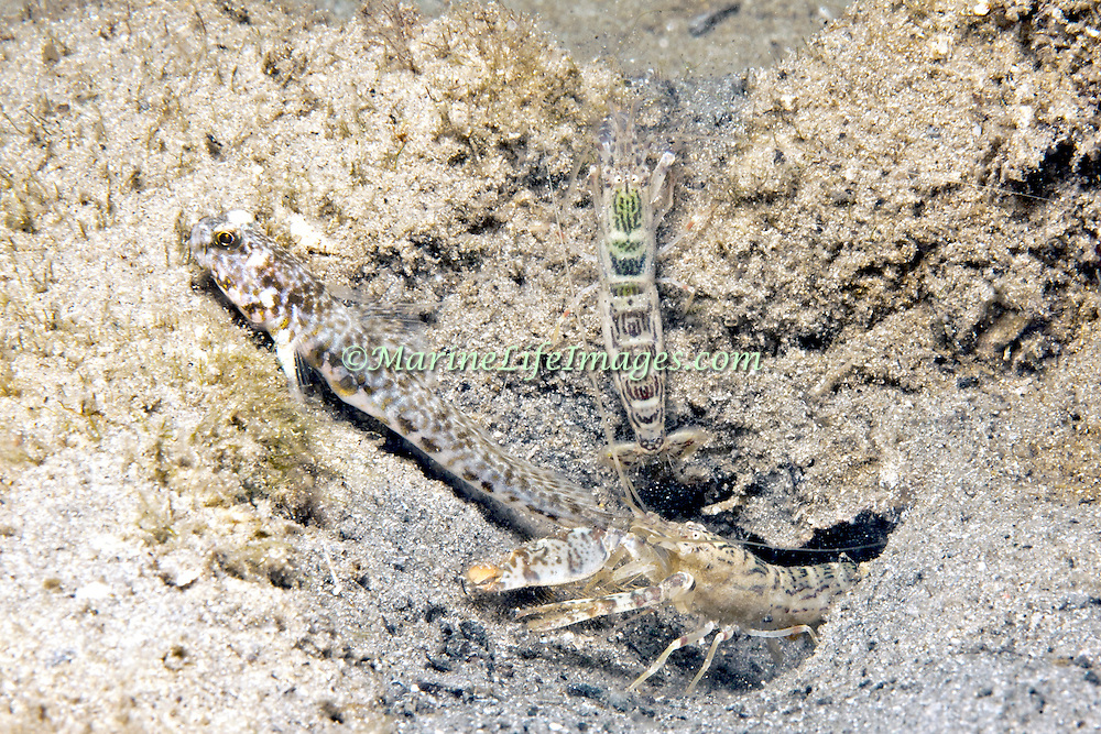 Orangespotted Goby inhabit burrow in sand, mud or silt, built and maintained by commensal snapping shrimp, in Tropical West Atlantic; picture taken Blue Heron Bridge, Palm Beach, FL.