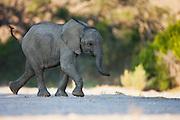 A desert-dwelling elephant calf (Loxodonta africana africana) running, Skeleton Coast, Namibia,Africa
