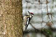 Yellow-bellied sapsucker (Sphyrapicus varius)<br />