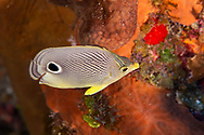 Foureye Butterfly Fish, Chaetodon capistratus, Coral reef, Grand Cayman