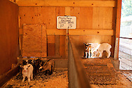 Early morning in the barn and barnyard with the Nigerian Dwarf Goats.