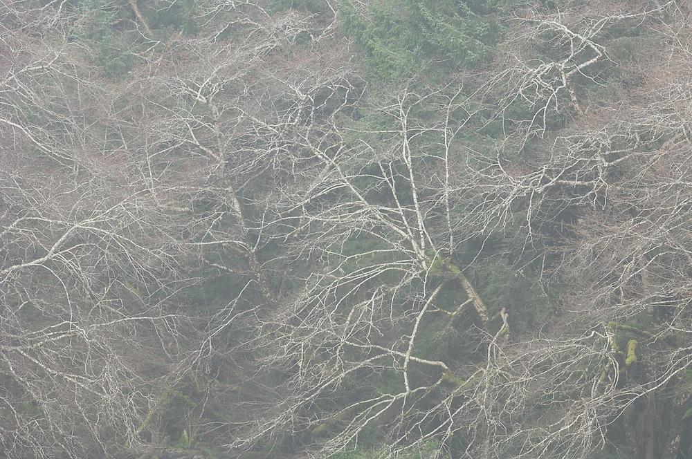 Pacific red alder branches (Alnus rubra), January, light fog, Olympic National Park, Washington, USA