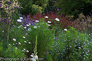 Autumn border with Verbena bonariensis,  Cosmos 'Purity' and Cosmos bipinnatus 'Psyche Rose Picotee' - also sold by Mr Fothergill as 'Sweet Kisses', Perovskia 'Blue Spire' and Persicaria affinis 'Superba' RHS, Stipa gigantea and Asters - September