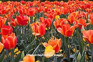 65021-029.16 Orange and yellow tulips (Tulipa sp), with yellow pansies (Viola sp) MO