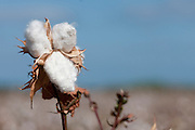 Cotton is a soft, fluffy staple fiber that grows in a boll, or protective capsule, around the seeds of cotton plants of the genus Gossypium. The fiber is almost pure cellulose. Under natural condition, the cotton balls will tend to increase the dispersion of the seeds. Photographed at Kibbutz Maagan Michael, Israel