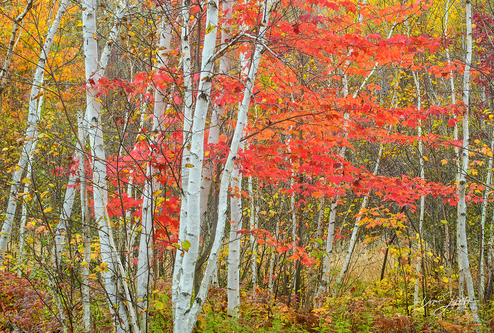 Birch tree trunks and red maple in autumn, Kalmo Park Conservation Area, Va, Ontario, Canada